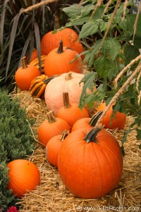 24 - Pumpkins - Ogunquit - Meadowmere