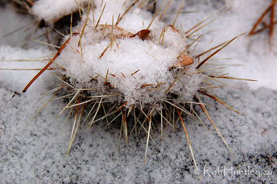 Snow urchin.... Well it looks like a snow-covered sea urchin I think. Actually it is a snow-covered prickly pair, Opuntia hybrid Nikolaj in my winter hardy cactus garden.