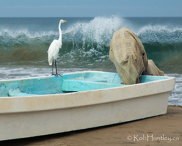 White heron standing on the gunwale of a fishing boat at Barra de Potosi, Mexico.