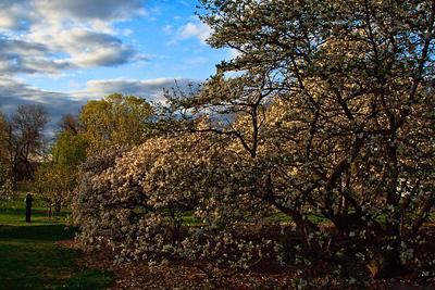 Magnolia trees in the arboretum