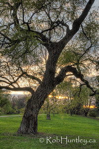 Crooked tree in the arboretum