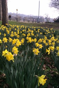 Daffs on campus, Spring 2012