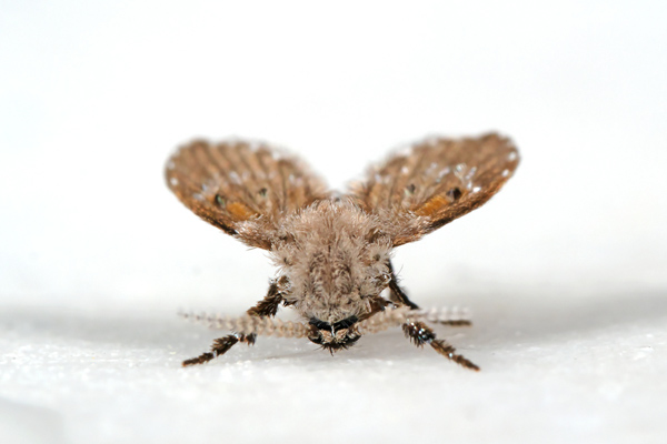 To Get Rid Of Drain Flies In Your Bathroom Sink Call Robinson Plumbing Today