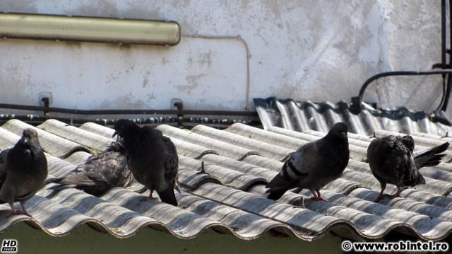Porumbei încălzindu-se la soare, semn că este primăvară și că va veni și vara