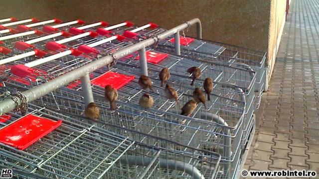 Rândunele grase de supermarket