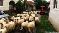 O turmă de oi pe drumul județean din Sînpetru, Țara Hațegului