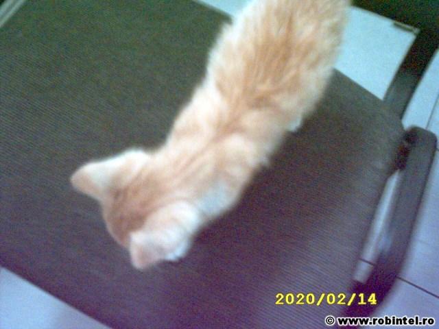 Pisoi sau  pisică portocalie care am vrea să fie adoptată urgent (3)