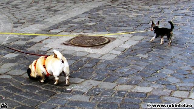 Contrast: un câine mic și gras, supraponderal ca o bilă și un cățel mic și subțirel, ca o așchie
