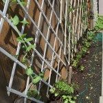 Peas up the trellis, with cilantro and a new row of arugula along the front.