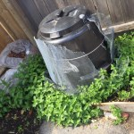The mint, oregano and parsley around the composter. Planted all this once, five years ago.