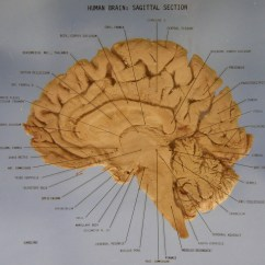 Human Brain Diagram Sagittal Wiring Single Phase Motor Starter The Section Robotspacebrain