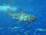How Shark Attacks Work
