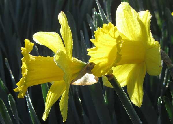 Daffodils in Bicclescombe Park, Ilfracombe, North Devon
