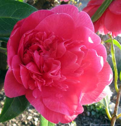Camellias in garden in Ilfracombe, North Devon