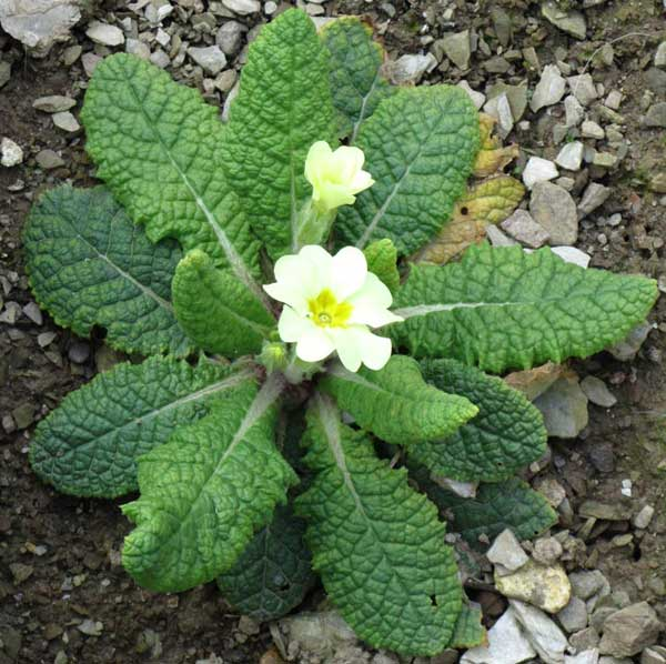 Primrose in garden in Ilfracombe, North Devon