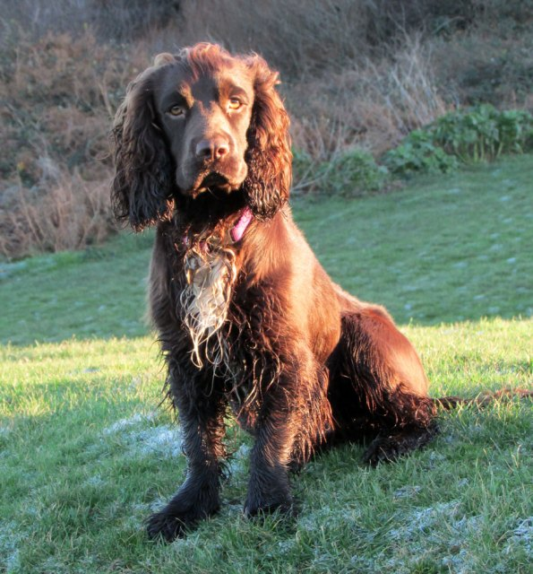 Sprocker spaniel | robzog.co.uk @robertz
