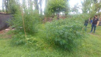 A partir de una denuncia al 0800 Drogas, secuestraron plantas de marihuana de más de dos metros de alto