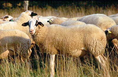 mouton du causse