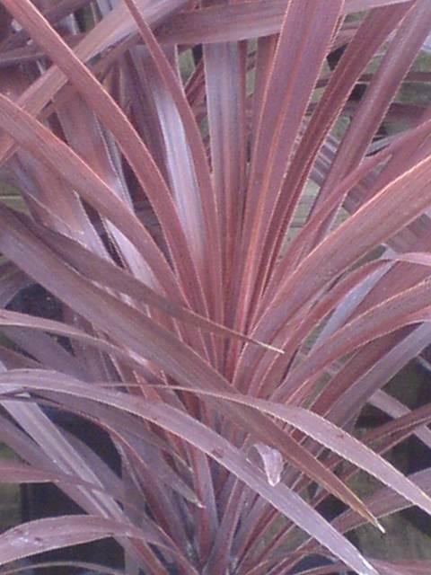 Cordyline australis Atropurpurea  Roceco Ecological