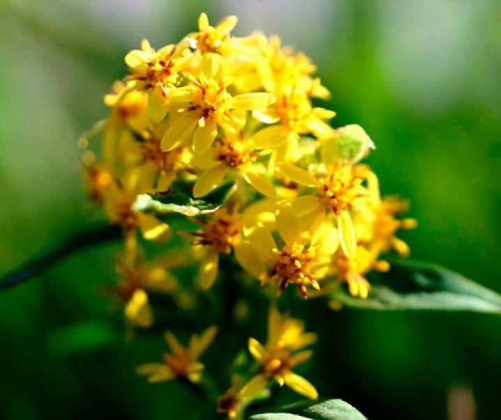 La vara de oro (Solidago vurga-aurea) planta con grandes cualidades medicinales especialmente en los aspectos renales, además de muchos otros.