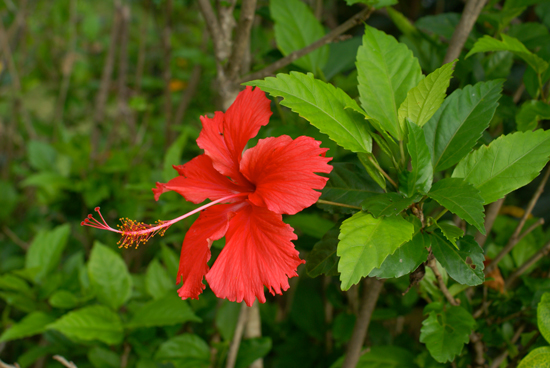 https://fr.wikipedia.org/wiki/Hibiscus_Rose_de_Chine