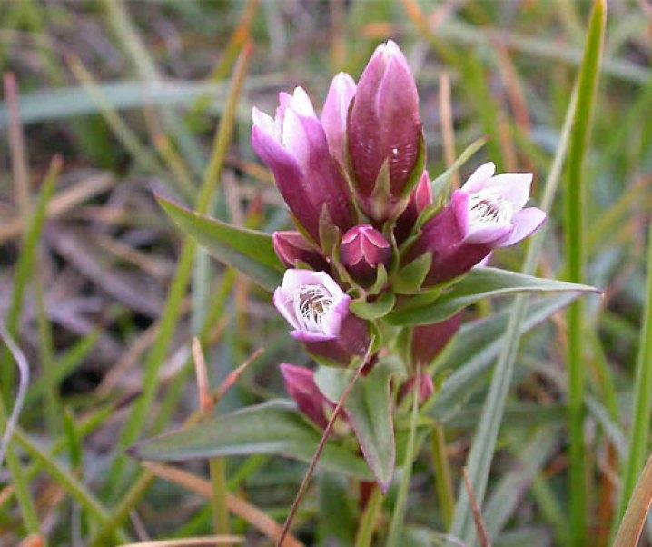 Hercampuri, Gentianella alborosea (Gilg) Fabris, interesante planta medicinal peruana de multiples efectos positivos especialmente hepáticos