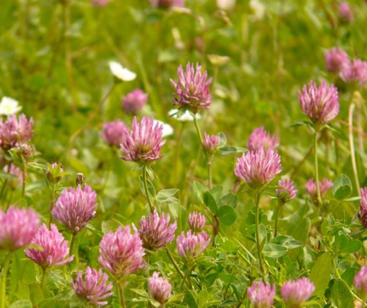 Trebol rojo, morado o rosado, gran especie medicinal y anticancerígena