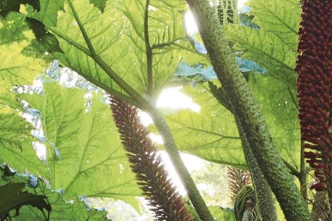 plantas medicinales chiloé