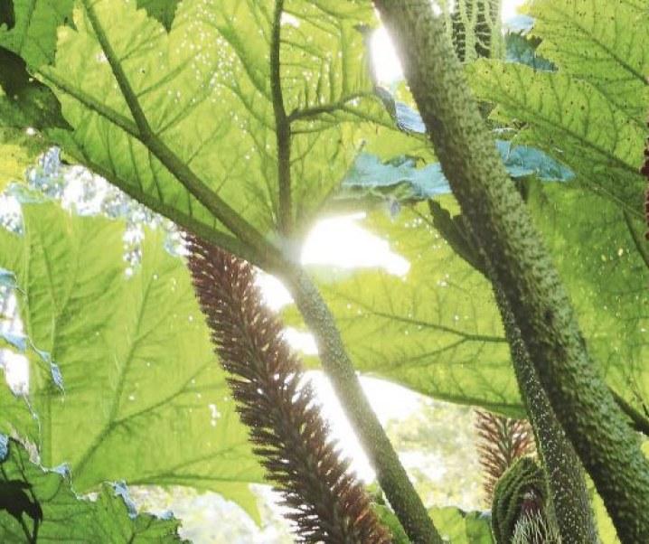 Plantas medicinales de Chiloé, interesante artículo de la Revista Ya de El Mercurio