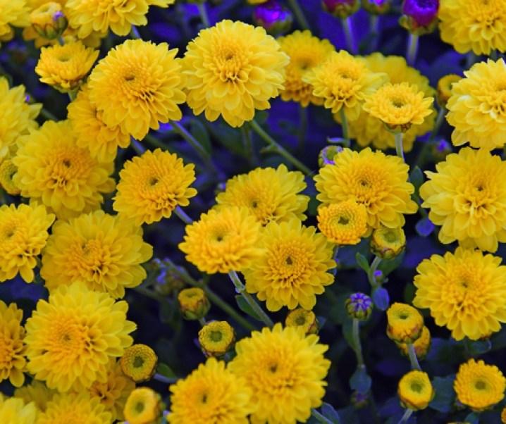 El crisantemo : Alto valor medicinal, posible positivo efecto sobre los afectados por el COVID-19