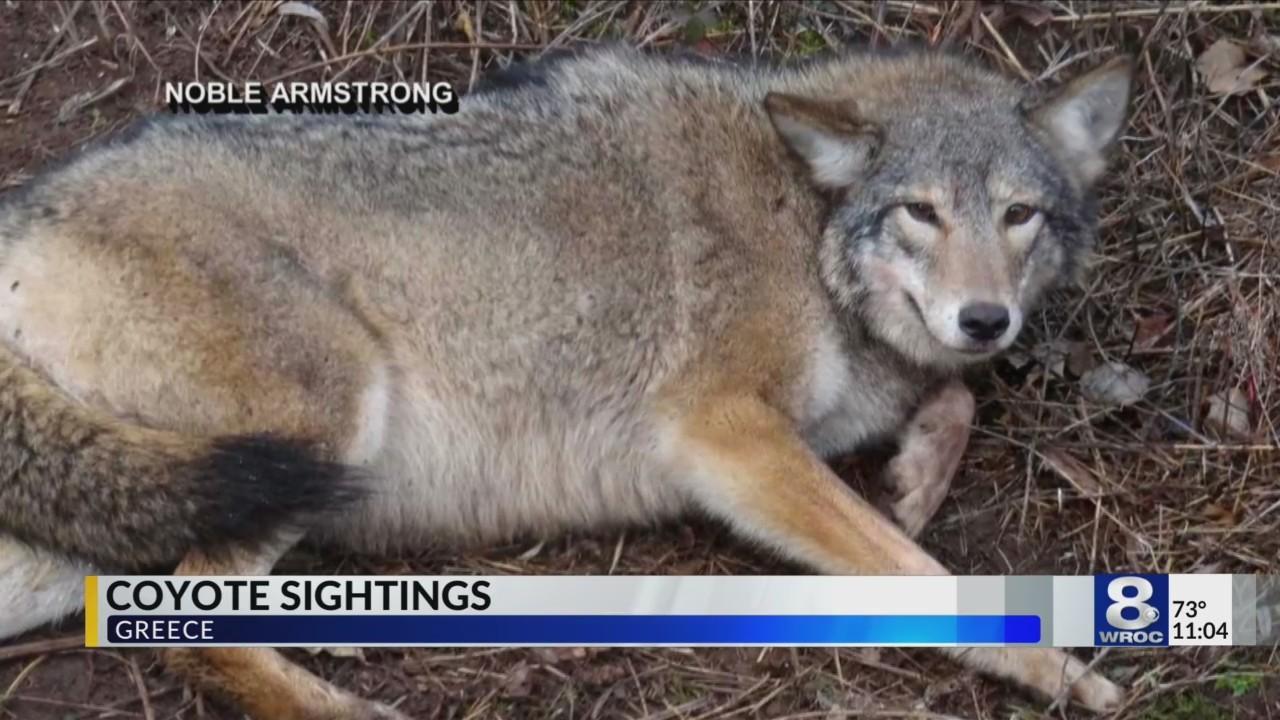 Coyote_sightings_in_Greece_0_20180724031114