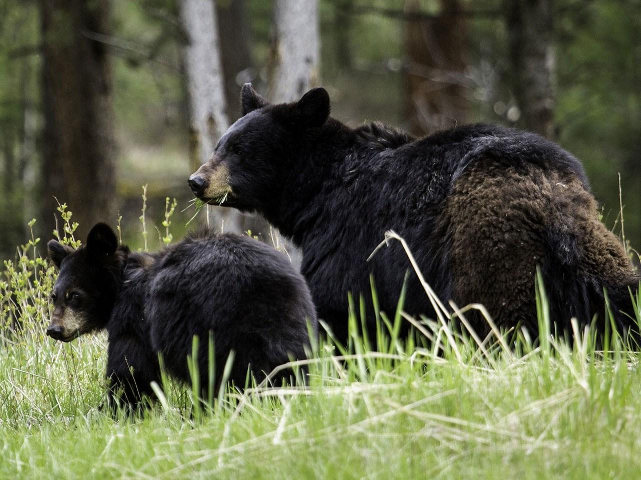 black bear cub_1538593715849.jpg.jpg