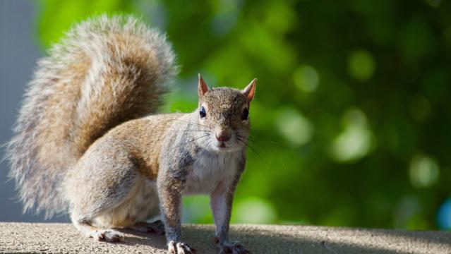 Squirrel IMG_1561022237145.jpg.jpg