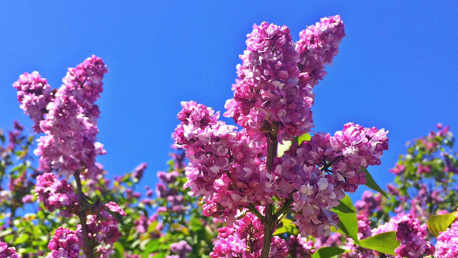 Rochester Lilac Festival 2020.Lilac Festival Announces 2020 Dates New Entertainment