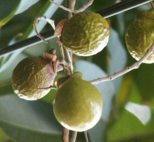 soap nuts tree