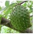 Graviola_Fruit Tree