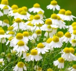 essential oil chamomile roman