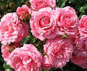 essential oil rose damask & jojoba