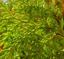 essential oil cypress 2