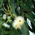 Essential oil_leaf_Eucalyptus2