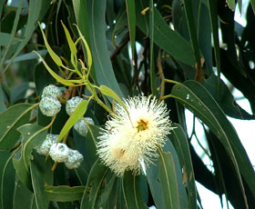 essential oil eucalyptus 2