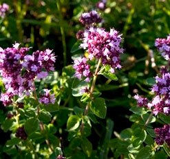 essential oil oregano wild 2