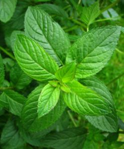 essential oil peppermint 2