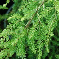 essential oil spruce hemlock