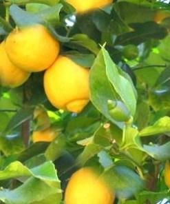 essential oil lemon 2