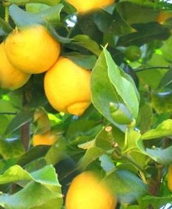 essential oil lemon 2