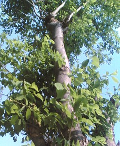 essential oil rosewood tree