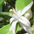 Essential oil_Neroli2