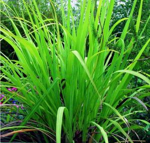 essential oil palmarosa 2