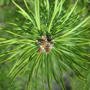 Essential Oil Pinus Sylvestris